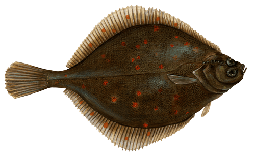 plaice picture